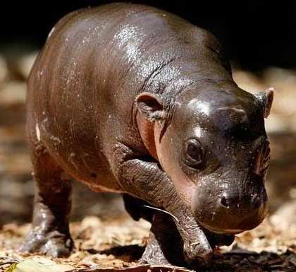 Pygmy Hippopotamus Pygmy Hippo For Sale What Is Seen