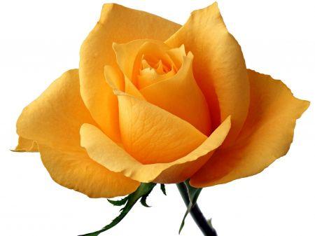 Yellow Rose Means Faith Faith Single Rose Flower Yellow