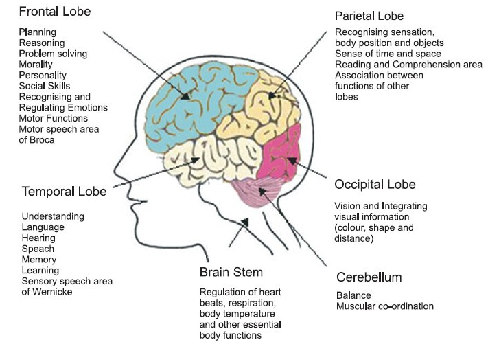 frontal lobe function - Google Search | Brain structure ...