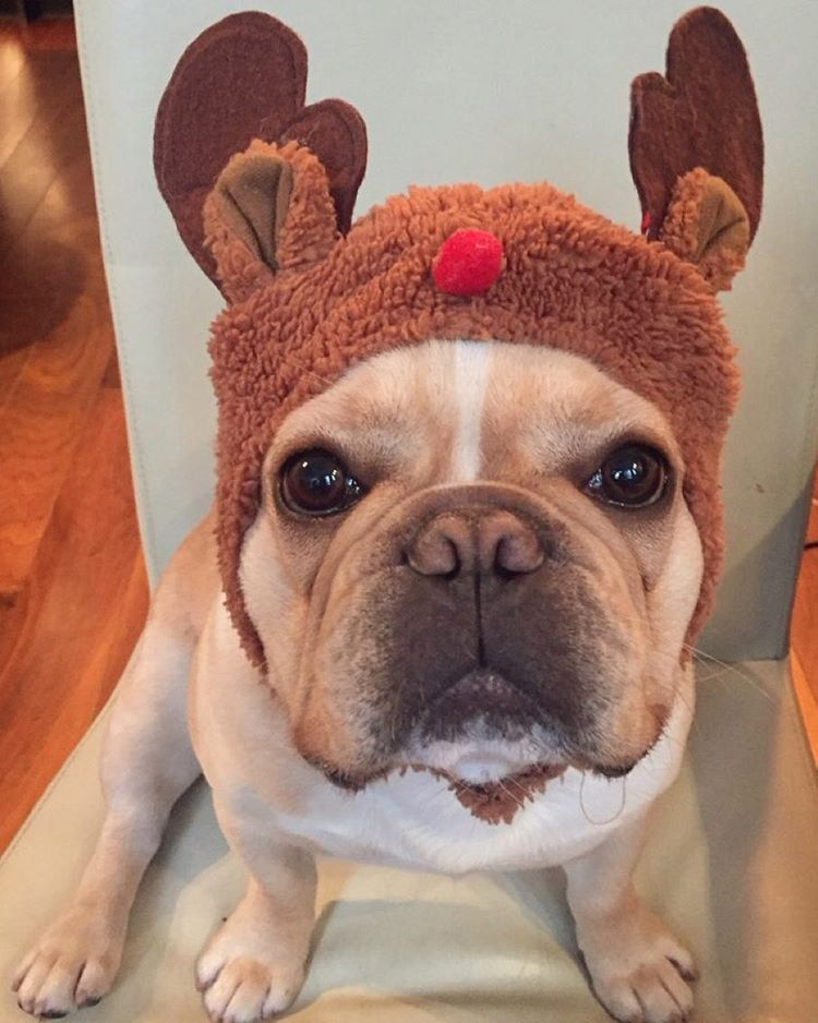 """""""You are getting more and more ridiculous, MOM!"""", French Bulldog in a Reindeer Hat ; ) ❤️"""