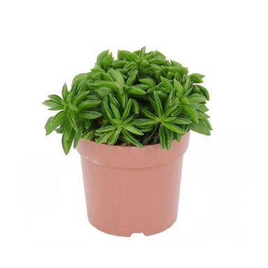 Peperomia Happy Bean 15 Cm Kwiaty Doniczkowe W Atrakcyjnej Cenie W Sklepach Leroy Merlin Peperomia Beans Herbs
