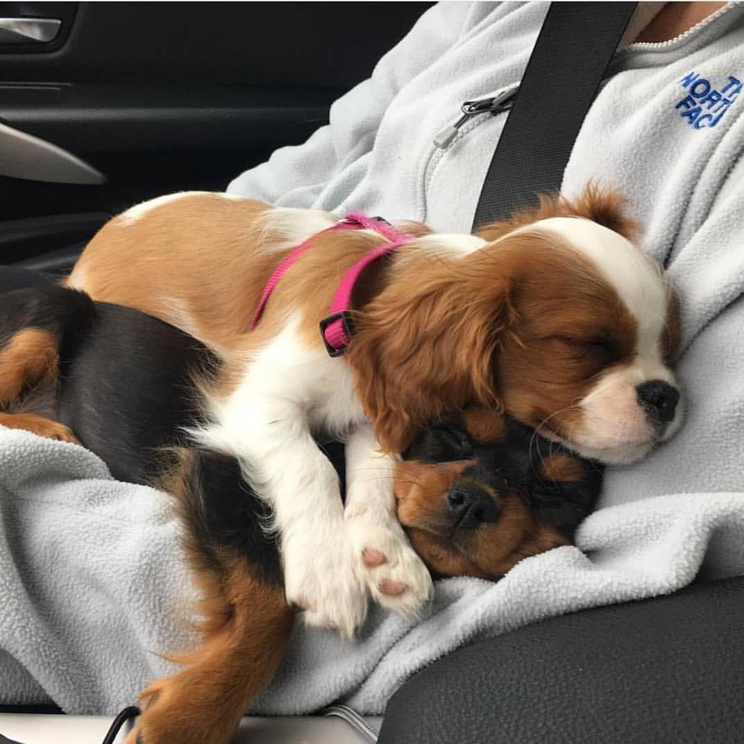 Dog Lovers _ How Cute King charles cavalier spaniel