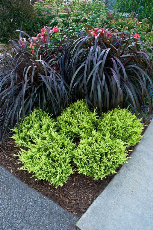 Graceful grasses vertigo purple fountain grass for Purple grass perennial