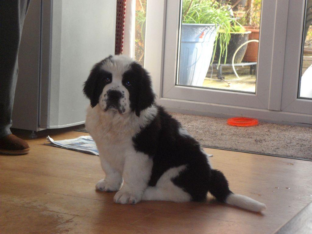 Black And White St Bernard Newfoundland Puppies Images Puppy Images Newfoundland Puppies Puppies