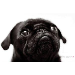 Most Inspiring Pug Black Adorable Dog - 47142474e7e9d5672a16407ddf3179f5  Trends_621746  .jpg