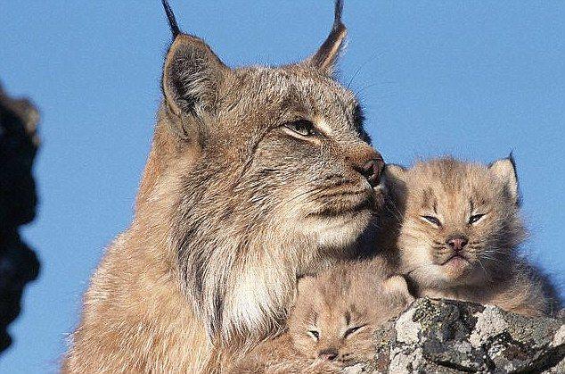 Big Cat Similar To Lynx