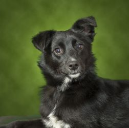 Henry Is An Adoptable Border Collie Schipperke Mix Dog In Elmsford