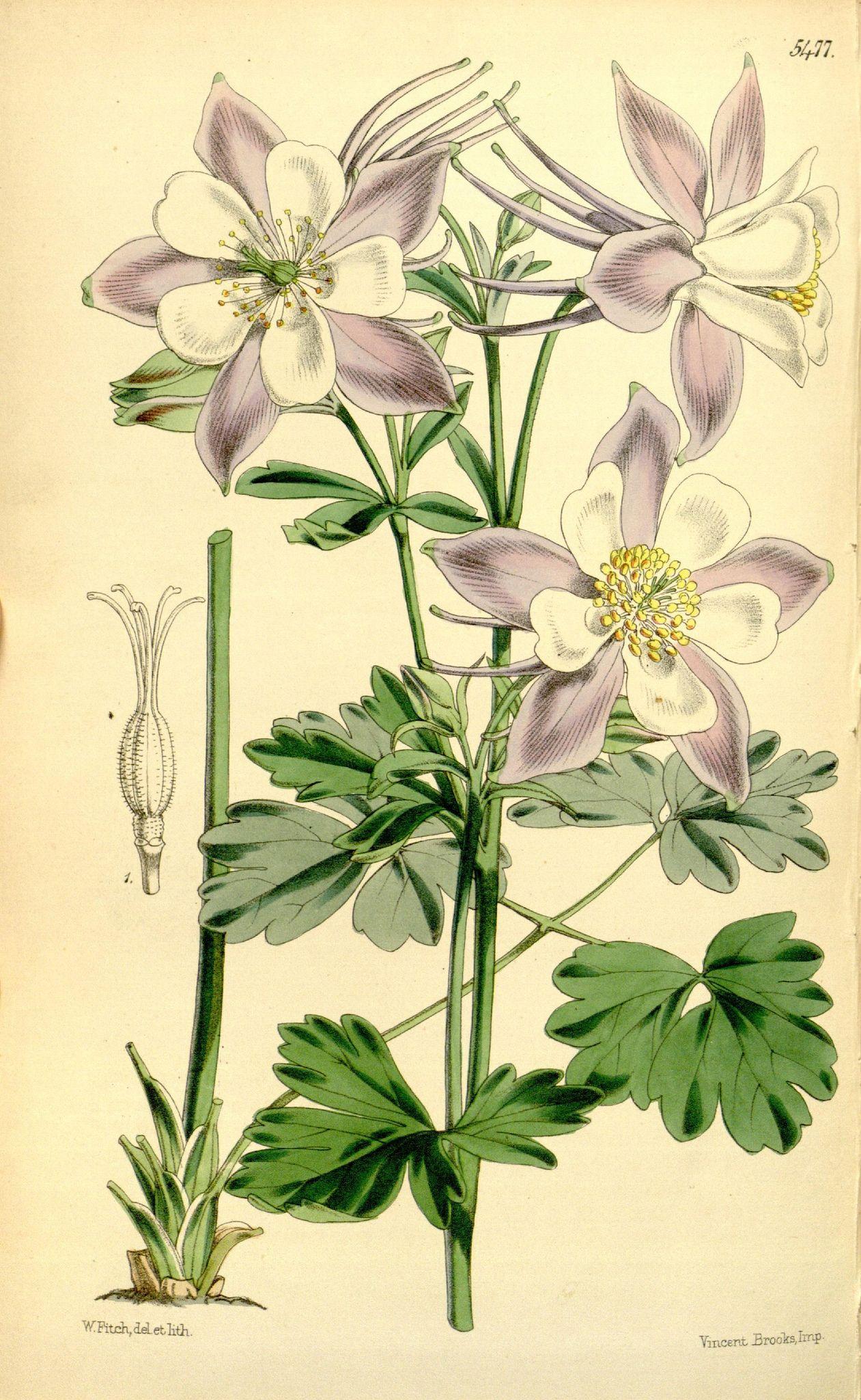 Curtis's botanical magazine.. London ;New York [etc.] :Academic Press [etc.]. biodiversitylibrary.org/page/432659