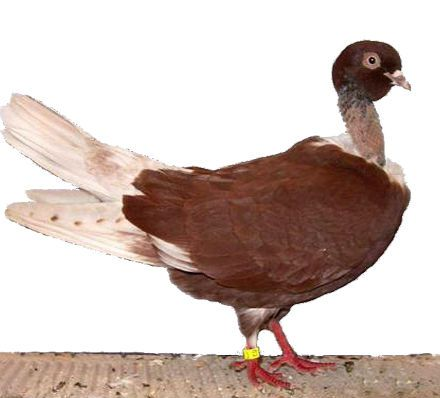 الحمام الرومي المصري Rare Birds Beautiful Birds Kinds Of Birds