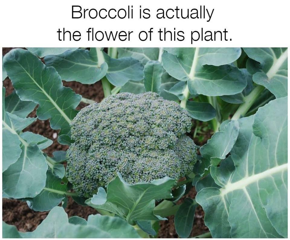 Food facts broccoli 516 harvesting broccoli broccoli