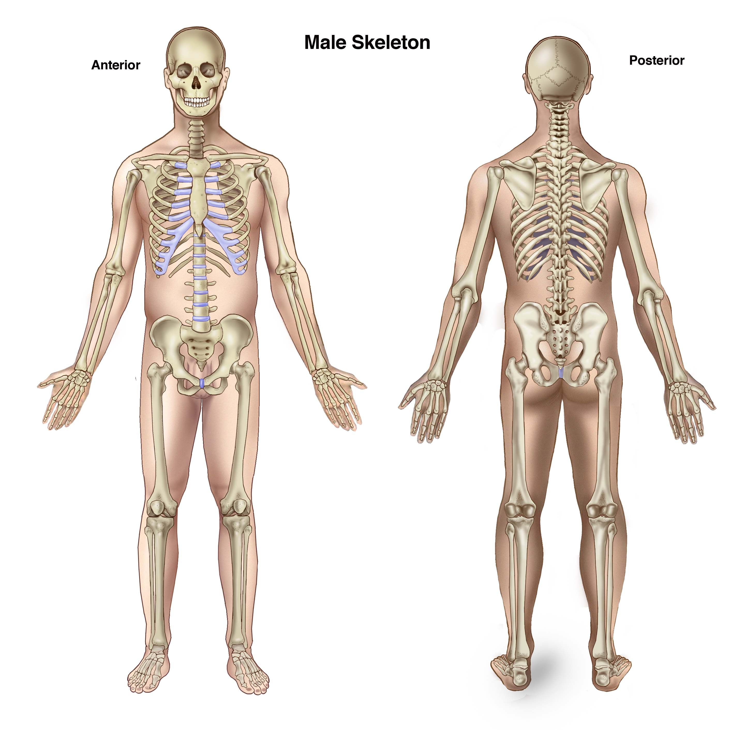 male skeleton anterior and posterior | clay doll armature base for, Skeleton