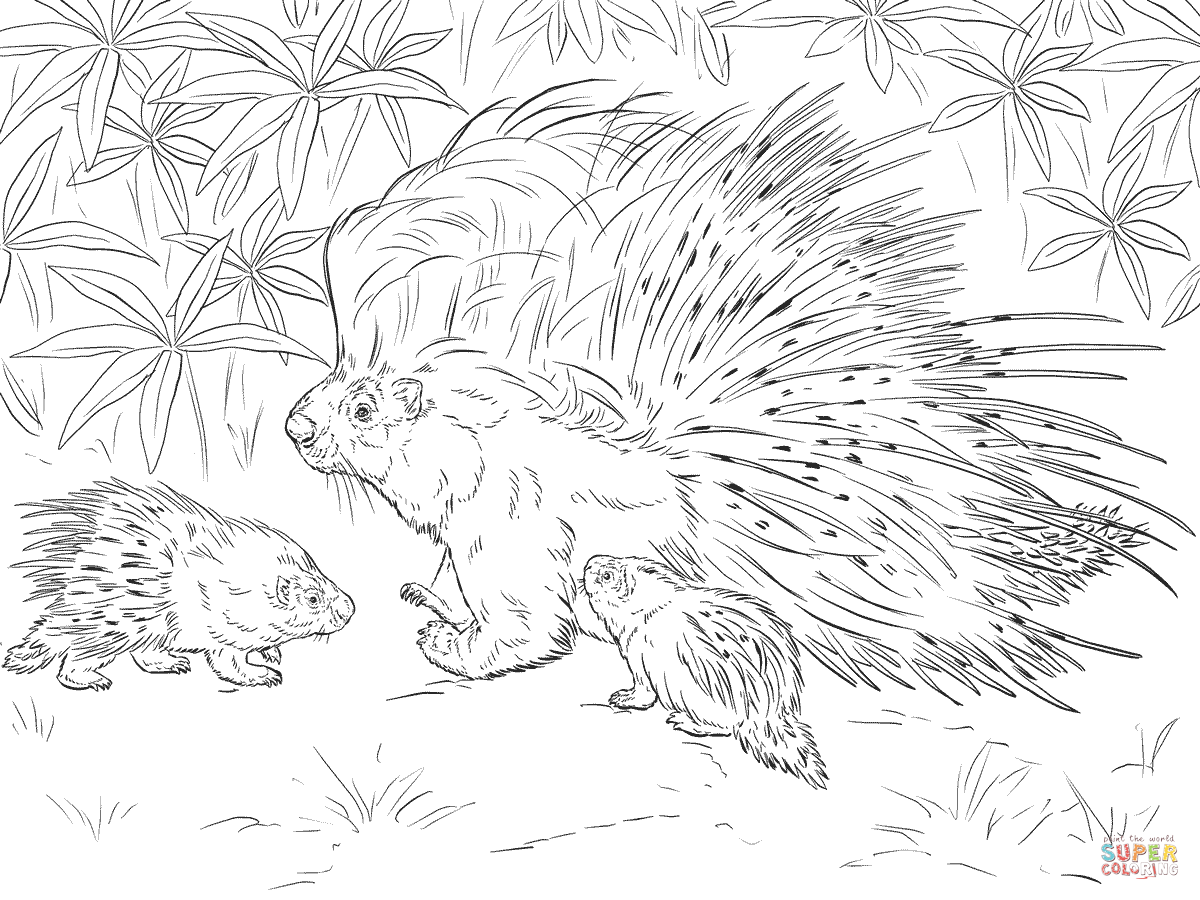 African Crested Porcupine Coloring Page Free Printable Coloring Pages Animal Coloring Pages Coloring Pages Free Printable Coloring Pages