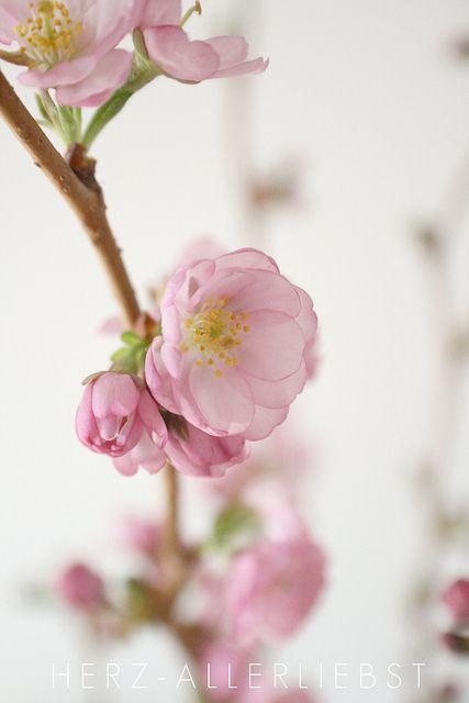 Kirschbluten Flickr Photo Sharing Beautiful Flowers Love Flowers Cherry Blossom Wedding