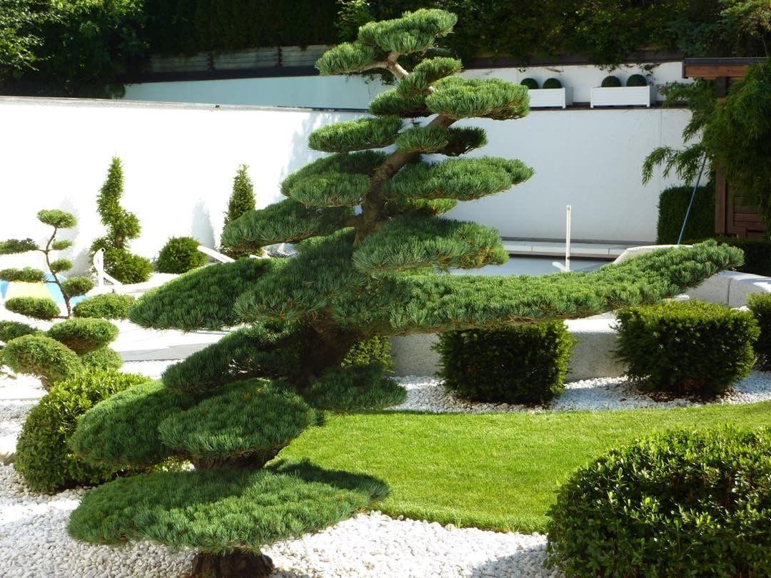 Bonsai gartenbonsai gardenbonsai pinuspentaphylla for Gartengestaltung thuja