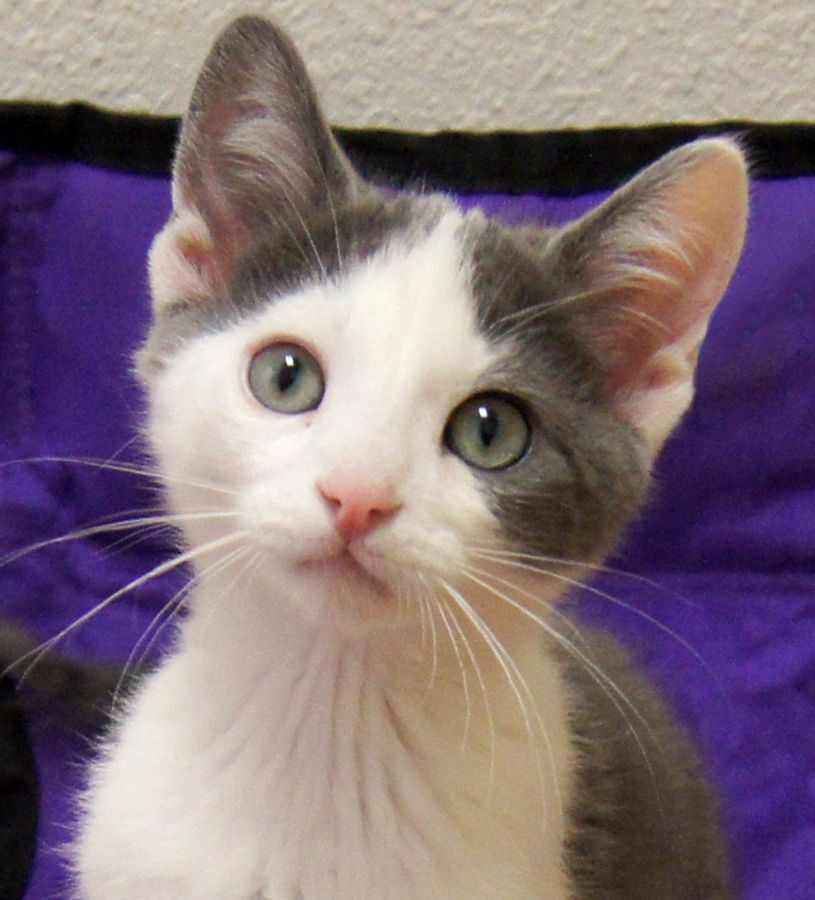 Nathaniel Is A Very Formal Name For Such A Cute Kitten But It Seems To Suit Him He S One Of The Tuxedo Kittens Her Kittens Cutest Grey And White Cat Cat