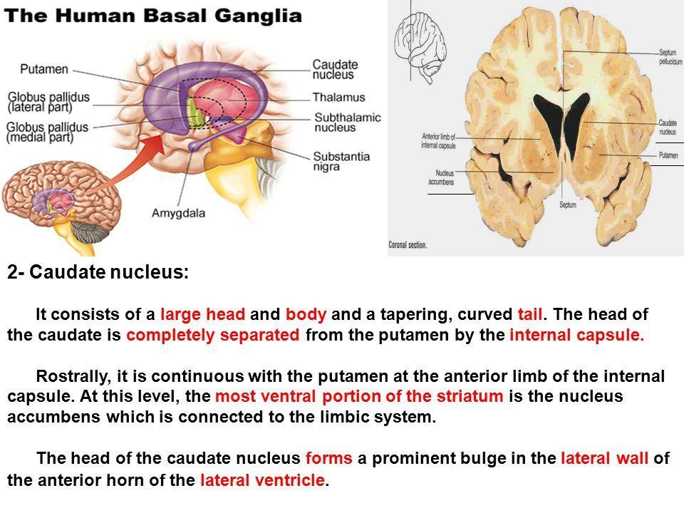 Image Result For Caudate Nucleus Neuro Anatomy Caudate Nucleus