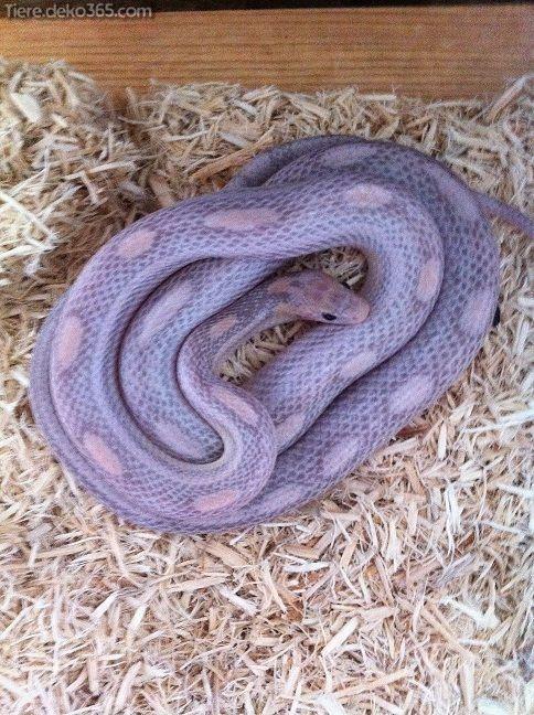 Spektakular Beste Schlangen Z Hd Grunschnabel Corn Snake Pet Snake Snake