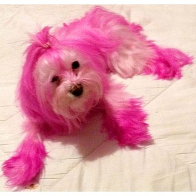 Pet Safe Hair / Fur Dye for Dogs - Lottie would be especially nice ...