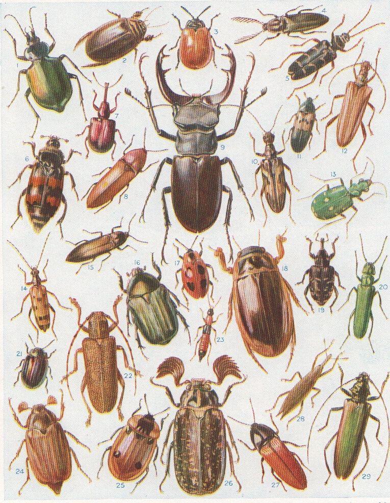 British Beetles print vintage insect print latin names