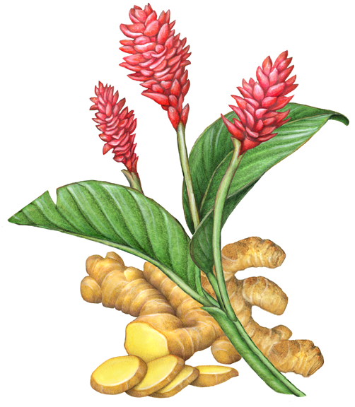 Botanical Illustration Of A Ginger Plant With Three Ginger Flowers And Two Leaves Also With A Ginger Ro Botanical Illustration Herbs Illustration Ginger Plant