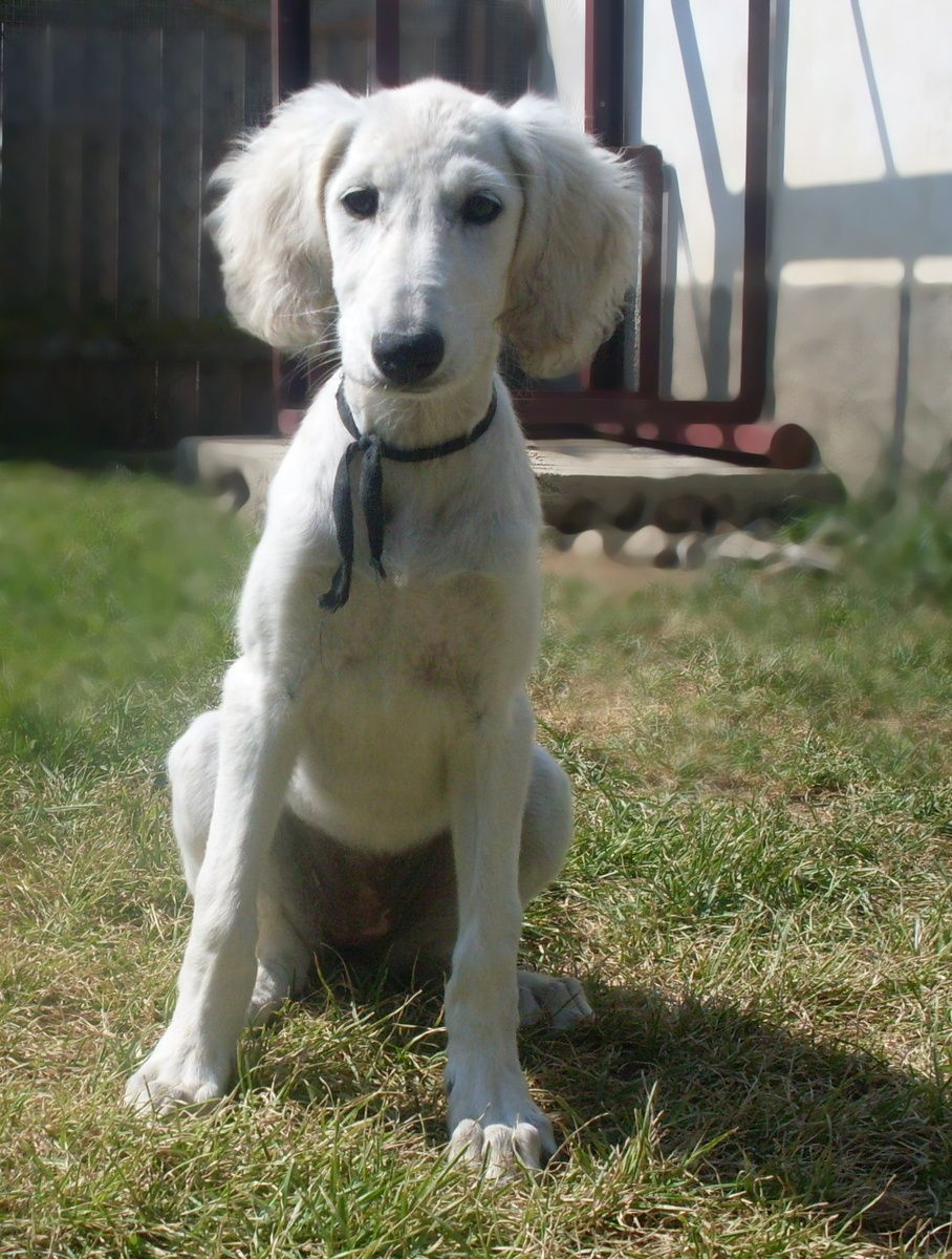Saluki Welpen Hundin Blatna Saluki Persischer Windhund