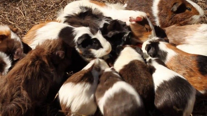 Guinea Pig Colony