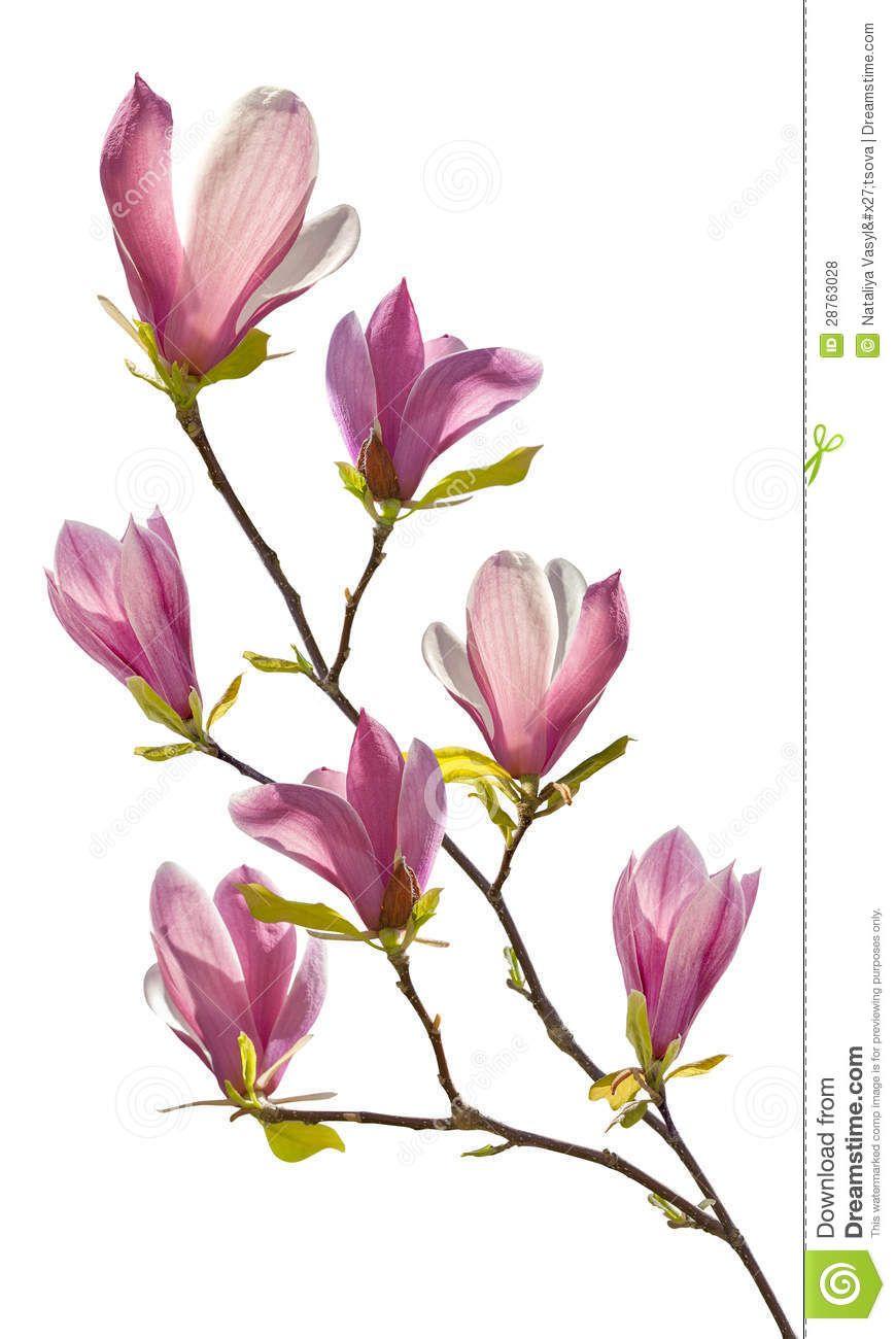 Flowering Branch Of Magnolia Cherry Blossom Art Botanical Flowers Magnolia Flower