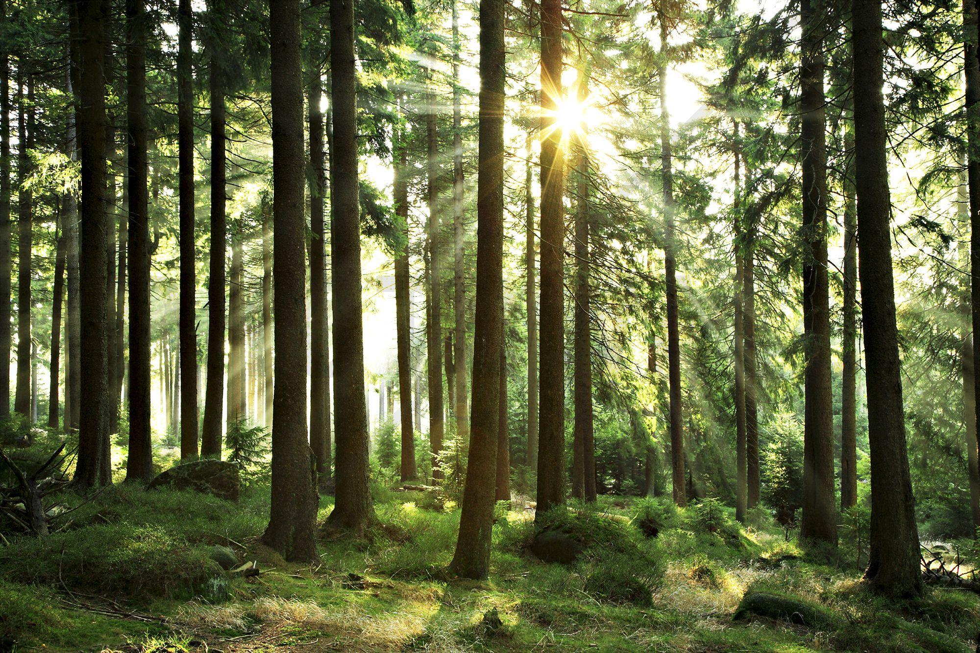 Wald - Sunbeam Through Trees - Fototapete & Tapete - Photowall