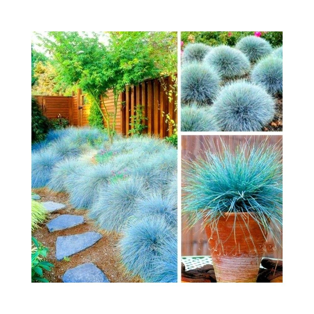 Blue Gr Seeds Festuca Glauca Intense 1 85