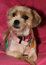 Adopt Willow On Fluffy Puppies Peace Love Dogs Shih Tzu Dog
