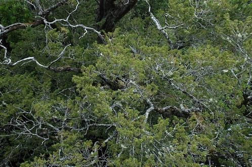 Le pin Huon en Tasmanie 10500 ANS !