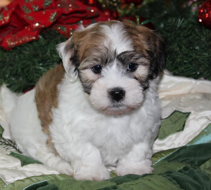 Cornerstone Coton De Tulear Puppies Available Coton De Tulear