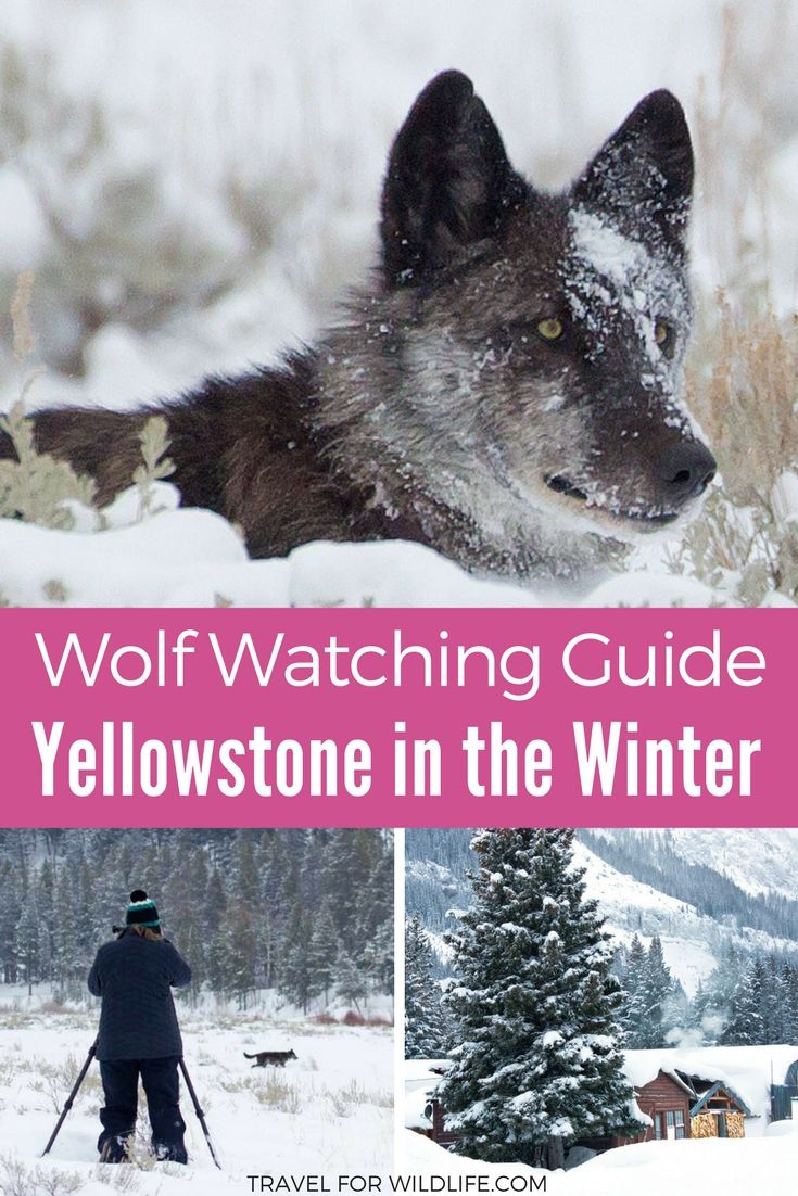 A Guide to Wolf Watching in Yellowstone in Winter | Best of