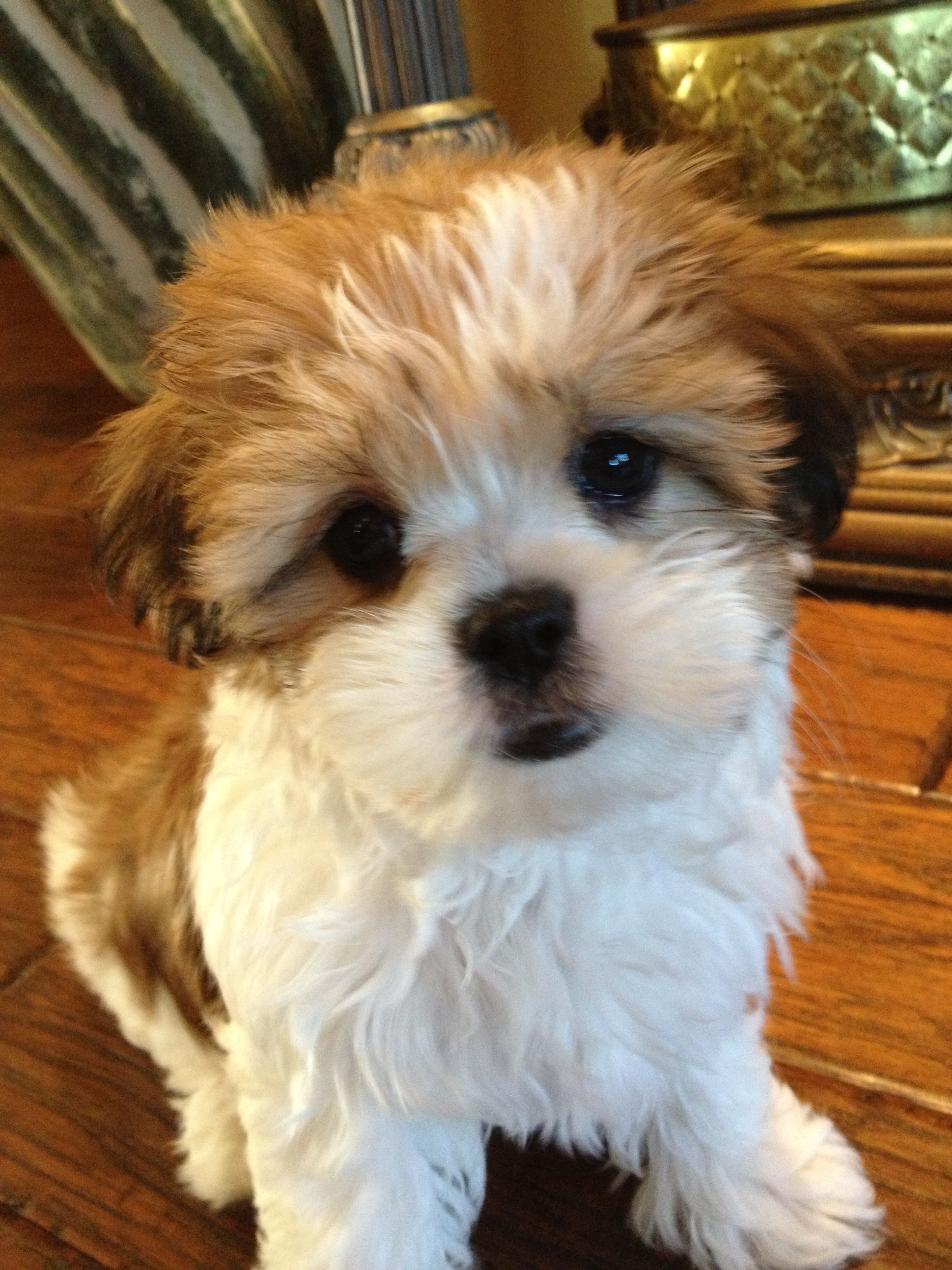 Mini my little Malshi puppy! Man's Best Friend and the