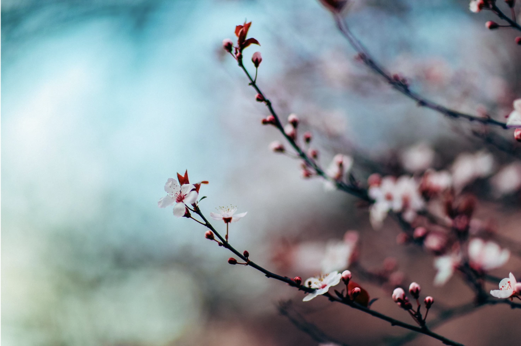 Pin By Shahadat Hossain On Followfast Cherry Blossom Tree Blossom Trees Acrylic Photo Prints