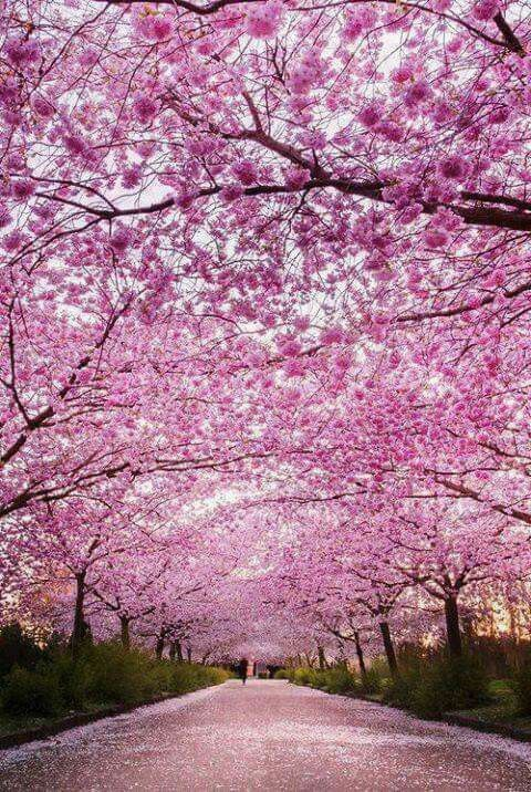 Cherry Blossom Time In Japan Nature Beautiful Nature Landscape