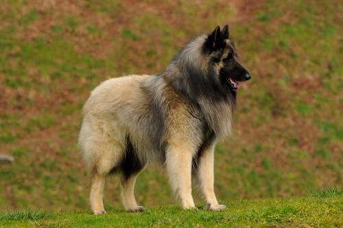 Tervueren Sable Ch Luavjan S Big Sand Kahuna Nl Re Tango Dell Alta Via X Sr Udine Du Perigord Vert Best Guard Dogs Guard Dogs Belgian Shepherd