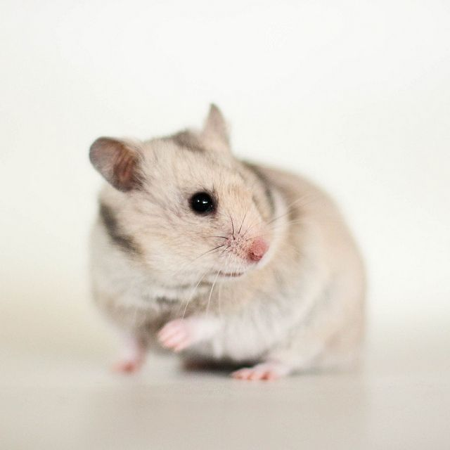 Lodholts Laila Cute Hamsters Syrian Hamster Pet Rodents