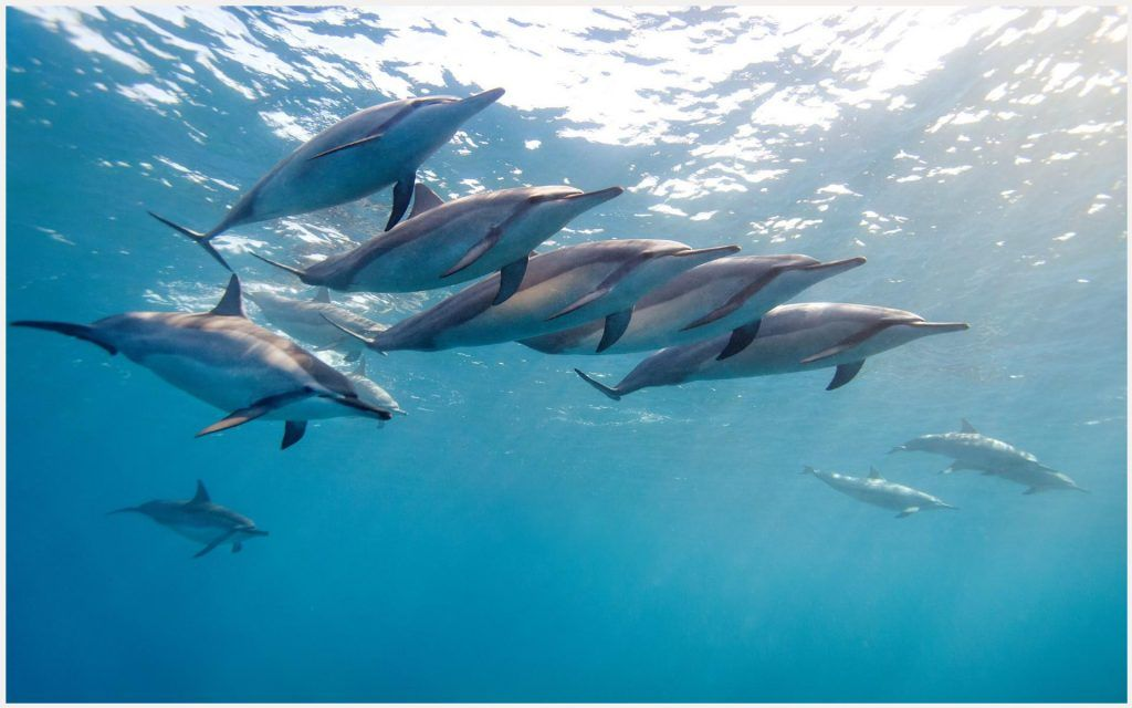 Dolphin wallpaper hd civic dolphin wallpaper in hd dolphin dolphin wallpaper hd civic dolphin wallpaper in hd dolphin desktop wallpaper hd dolphin voltagebd Gallery