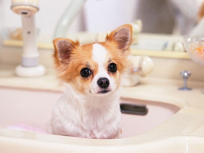 Cute Animal Babies Pictures Chihuahua Puppies Cute Chihuahua Chiwawa Puppies