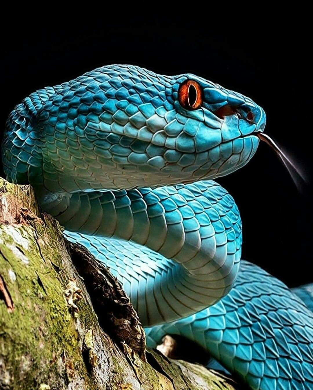 A closeup of the Blue Pit Viper a venomous pit viper