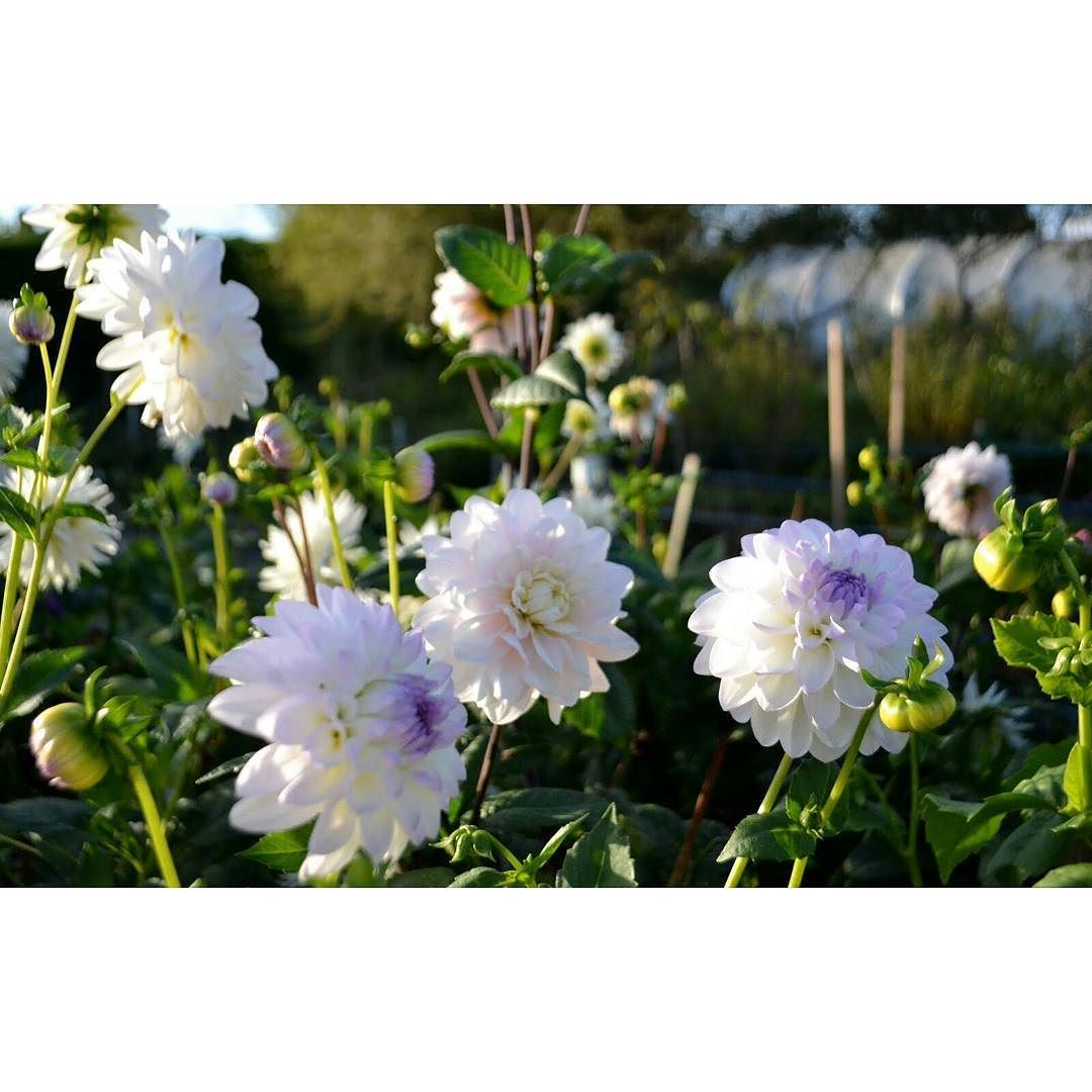 White comes in many colours... #whiteflowers #dahlia #dahlias