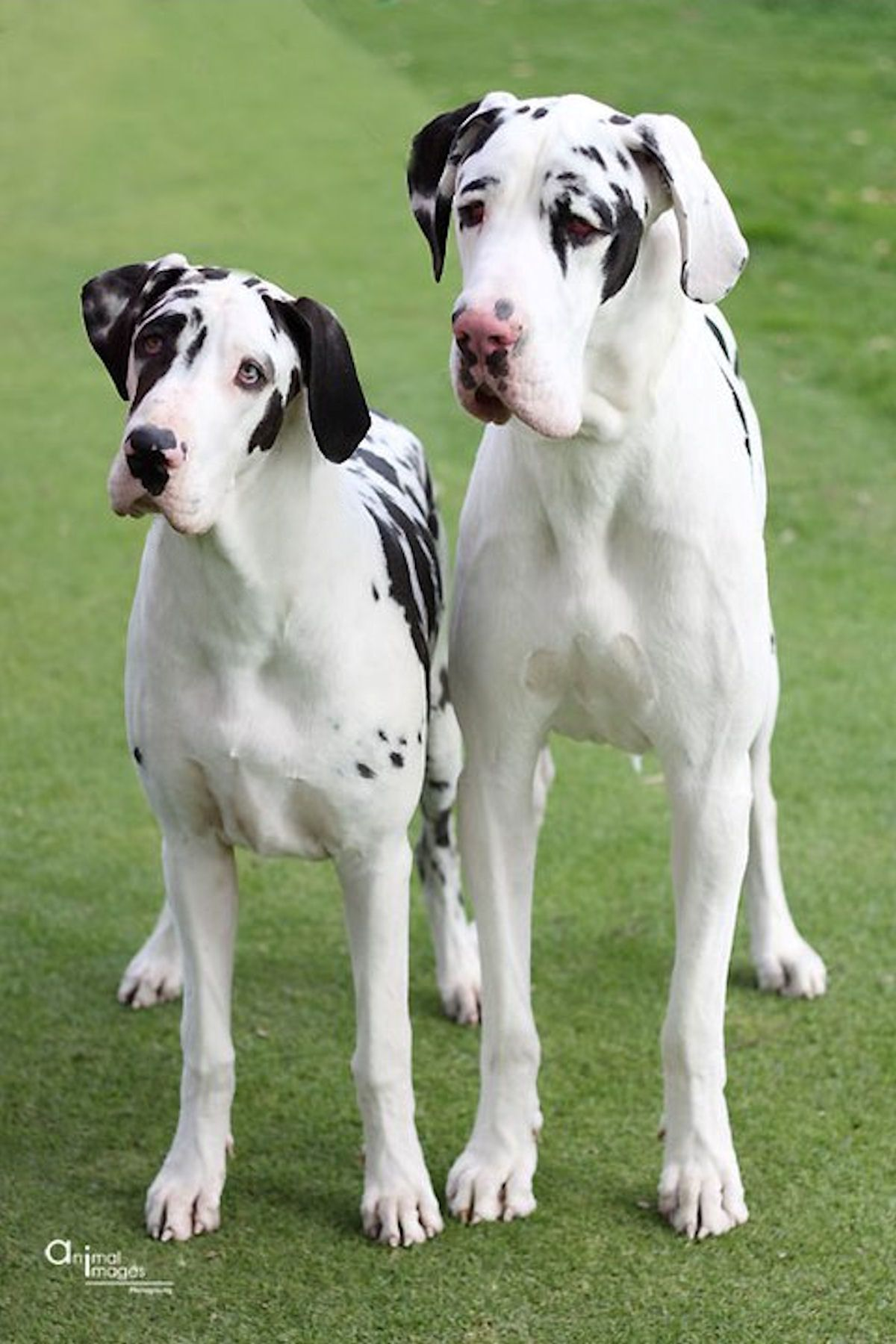 Great Danes Such A Cute Faces Great Dane Dogs Dane Puppies