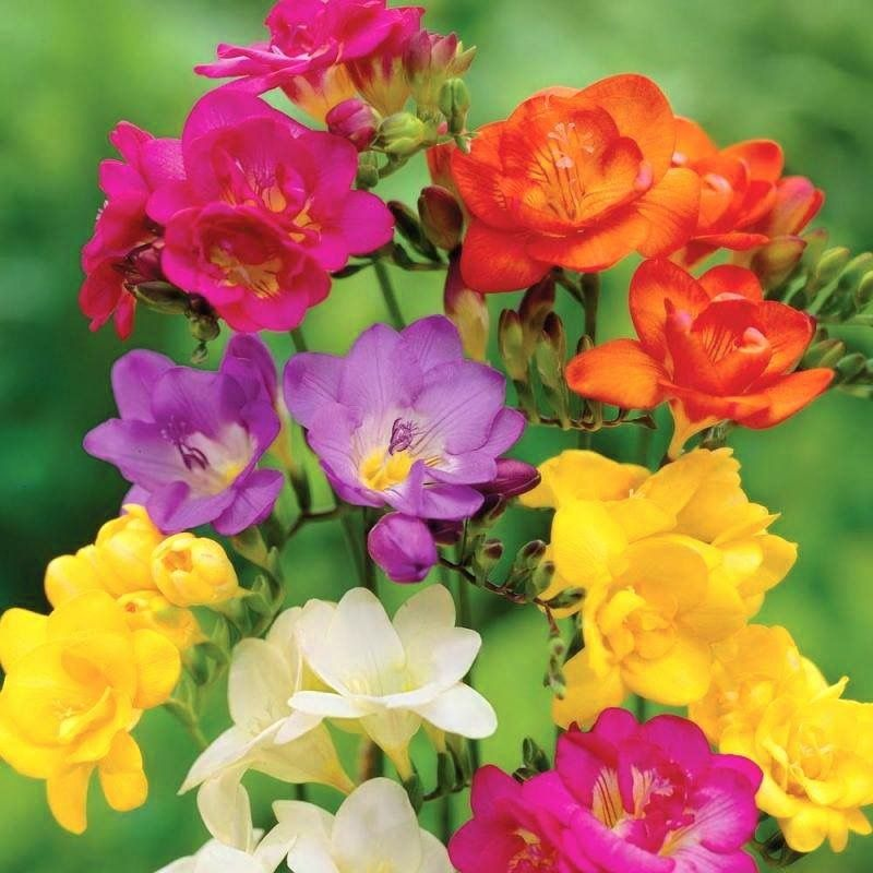Pin By Joyce Witmer On Flowers Freesia Flowers Beautiful Flowers Planting Flowers