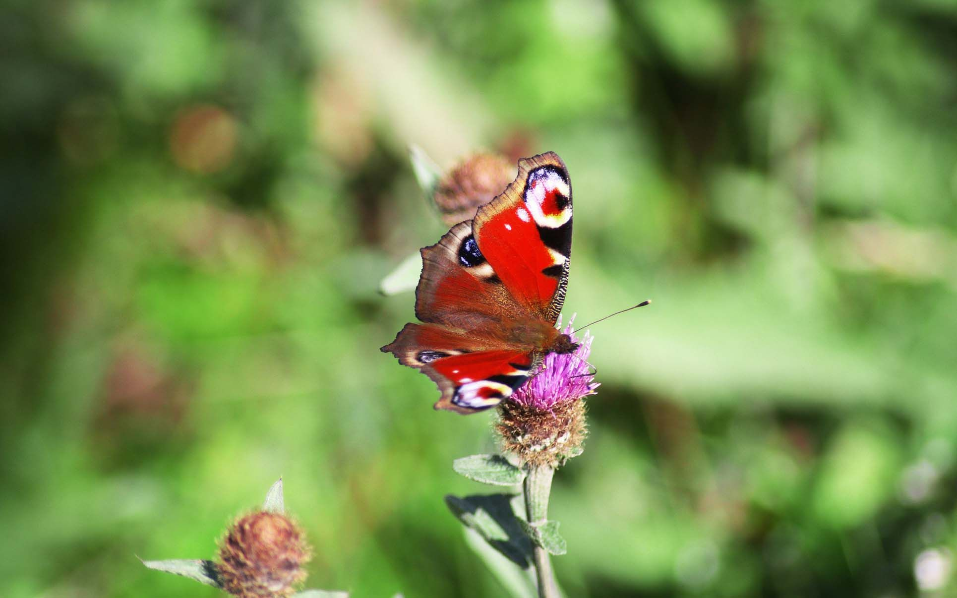 Red Butterfly HD Wallpapers Desktop Cool Backgrounds | red ...