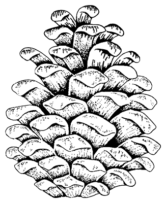 Pine cone coloring pages google search res life in 2019 pine cone drawing cone template - Pomme de pin dessin ...