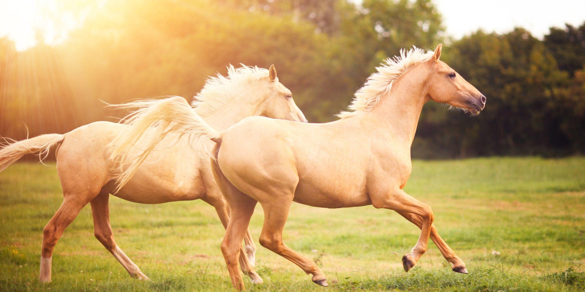 The Thing About Horses Horses Palomino Horse Beautiful Horses