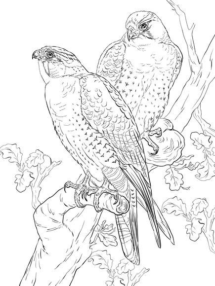 Falcoes Peregrinos Desenhos De Aves Esbocos De Animais Coisas