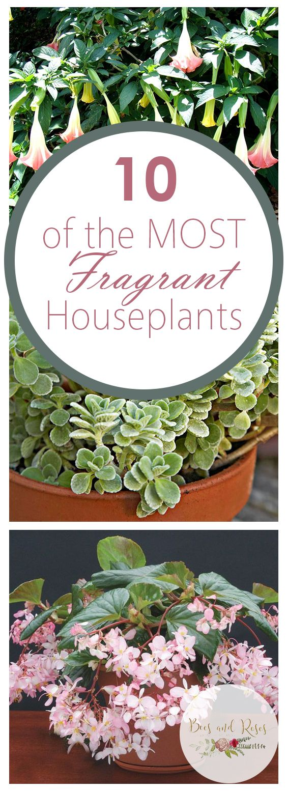 10 of the MOST Fragrant Houseplants ~ Bees and Roses