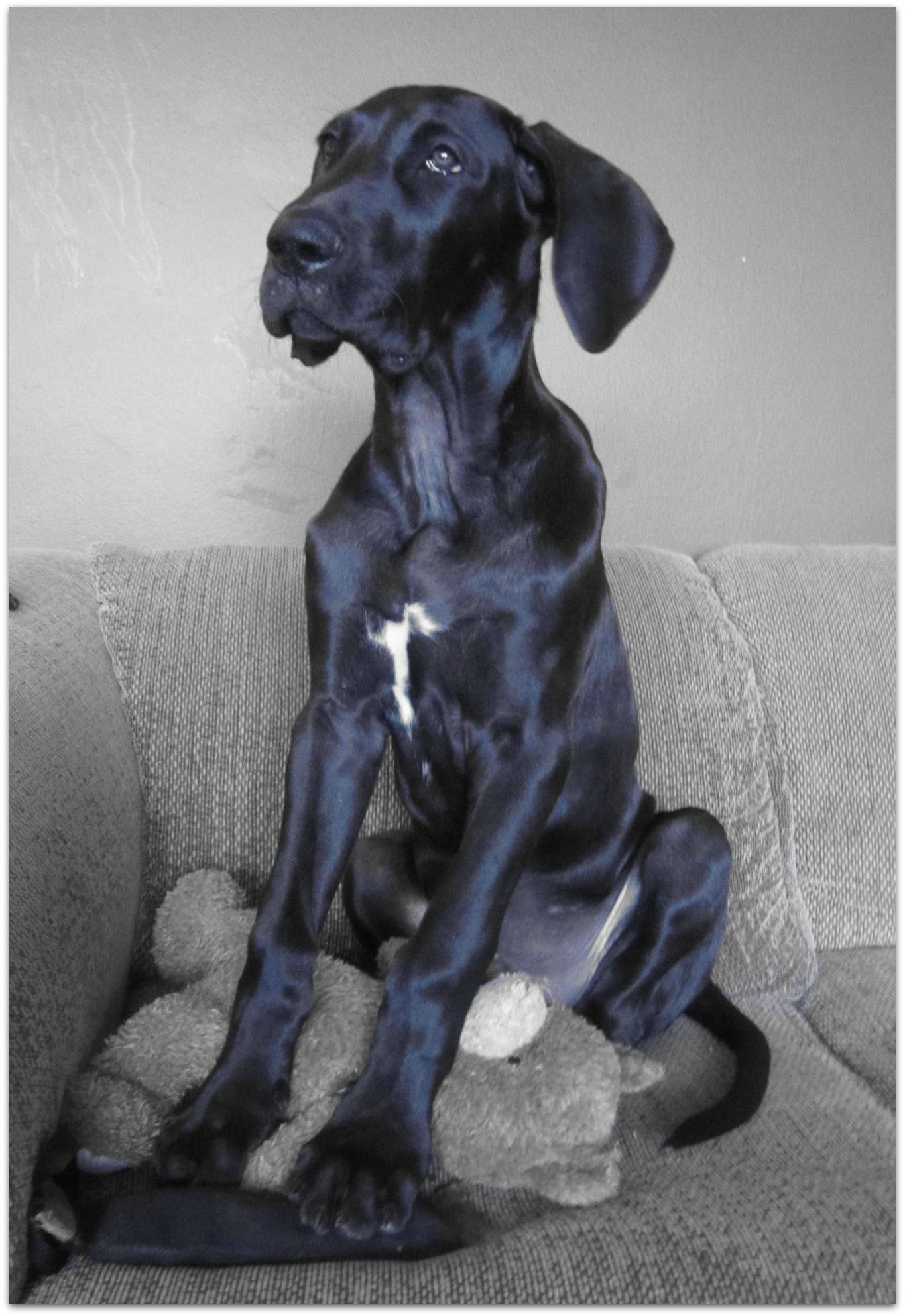 3 5 Month Old Great Dane Just A Baby Great Dane Dogs Dane Dog